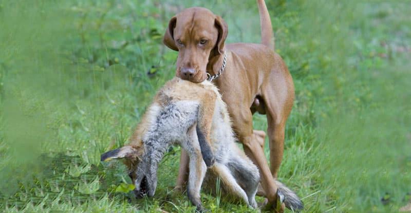 Jakthund med en fångad räv