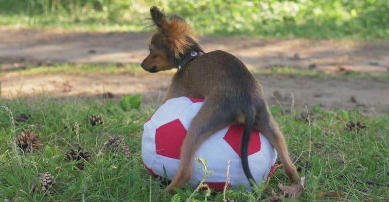 Hund som rider på boll