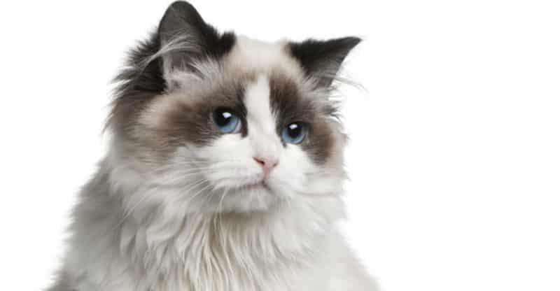 Vit-brun långhårig katt