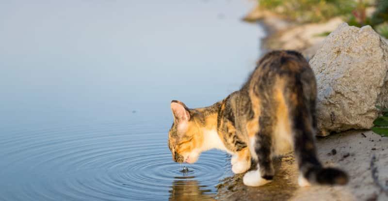 Katt dricker vatten från en sjö