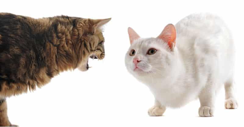 En katt fräser mot en annan katt