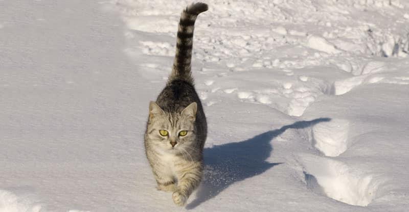Katt som går i snön