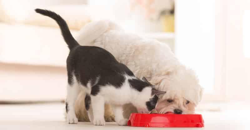 Katt och hund äter ur samma matskål