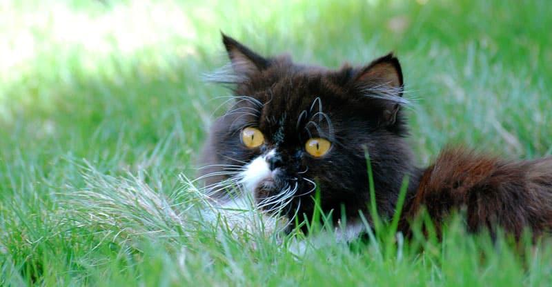 Katt gömmer sig i högt gräs