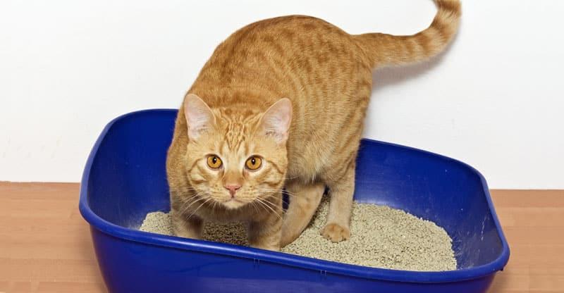 Katt som är i kattlådan