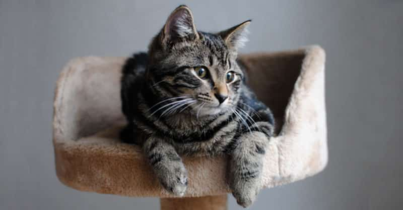 Katt ligger i kattställlning