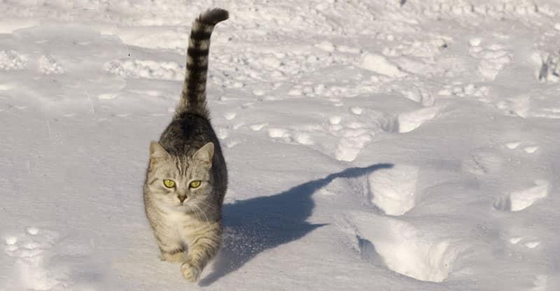 Katt går i snön