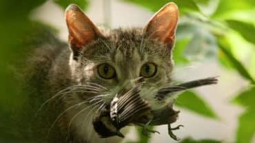 Katt som har fångat en fågel