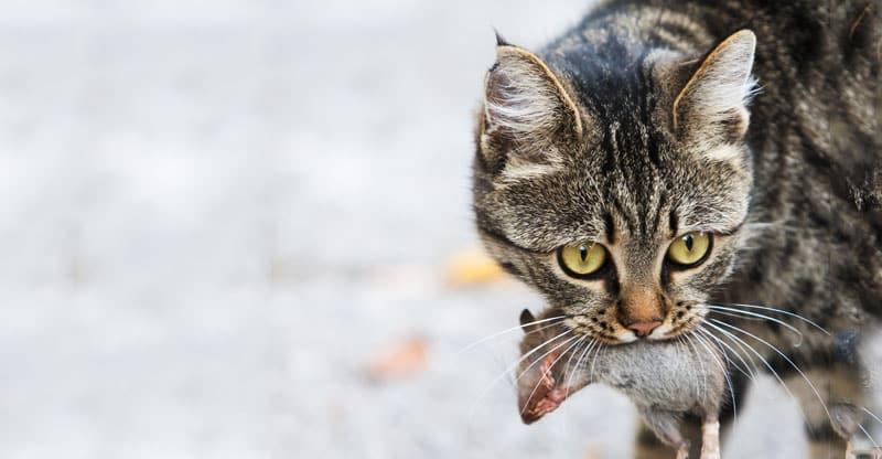 Katt som har fångat en mus