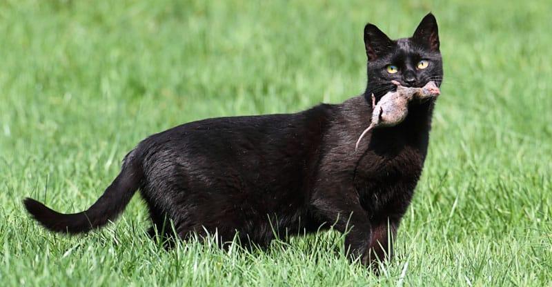 Svart katt som har fångat en mus