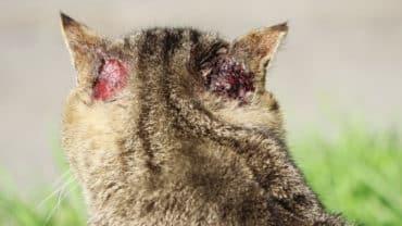 Katt som kliat upp sår bakom öronen