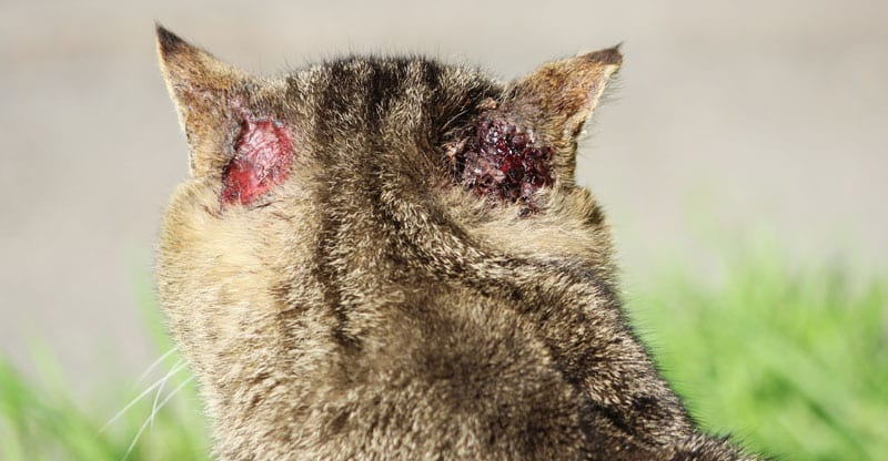 öronskabb katt hur smittar