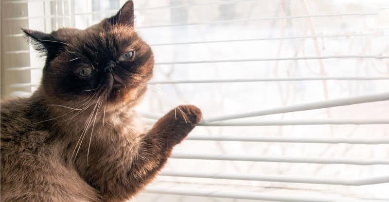 Katt drar tassen i persiennen