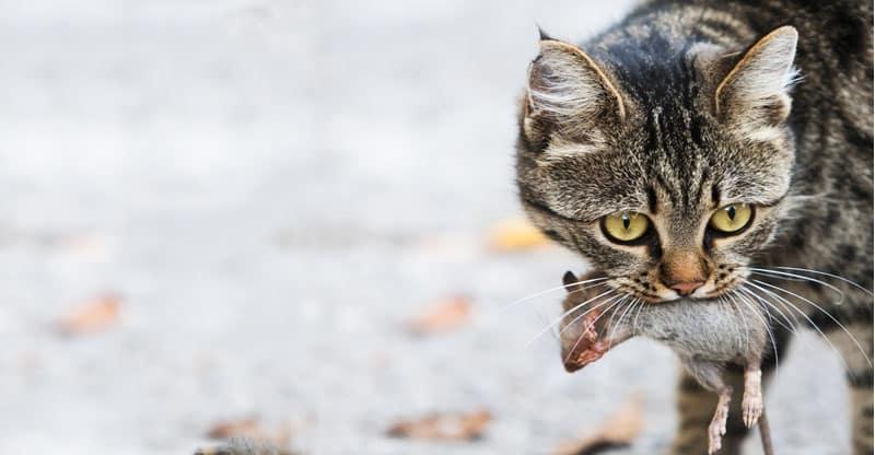 Katt med en mus i munnen