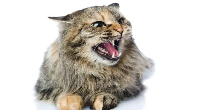 Fräsande katt