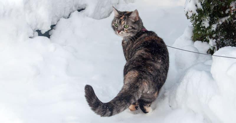 Den äldre katten Piffi är ute och går i snön