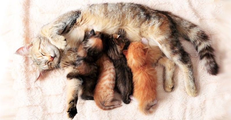Kattmamma diar sina kattungar