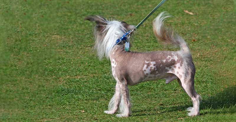 Nakenhund viftar på svansen