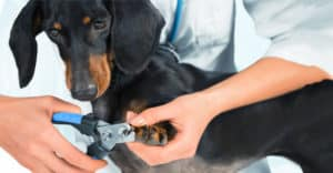 Hund får sina klor klippta