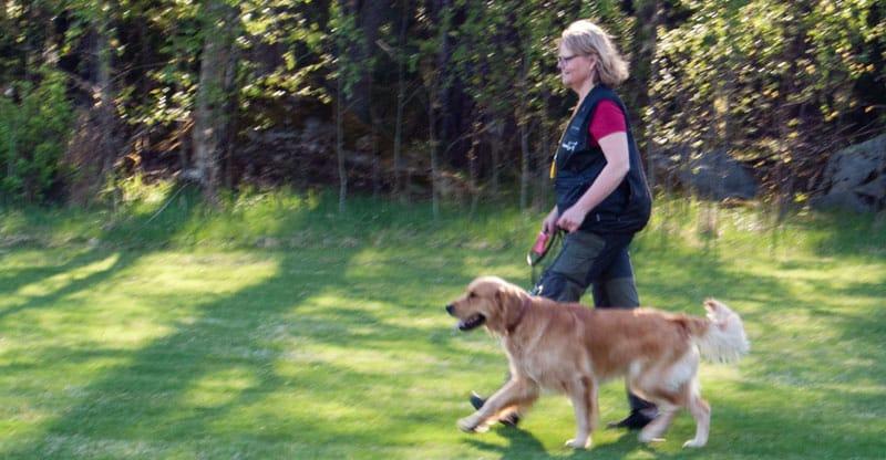 Kvinna tränar jaktfot med sin Golden retriever