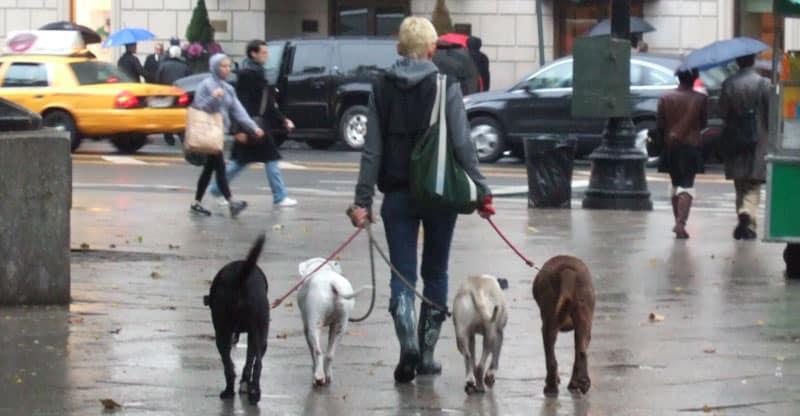 Kvinna går med fyra hundar i New York