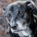 En äldre hund. labrador