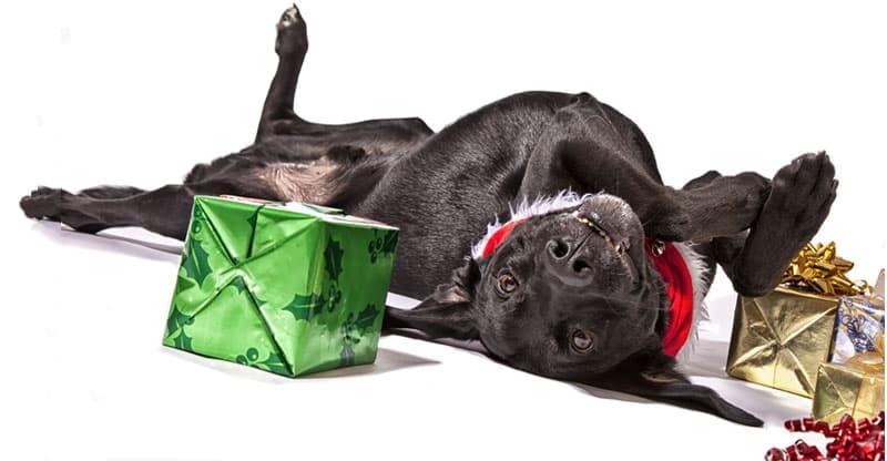 Trött labrador bland julklappar