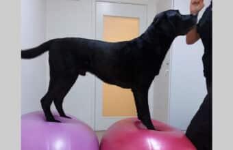 Labradoren Diesel på balansbollskurs hos Glanna i Västerås