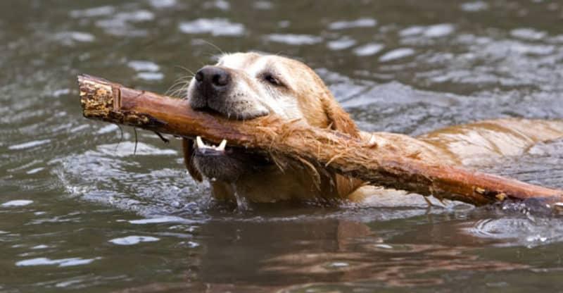 Simmande Labrador med pinne i mun