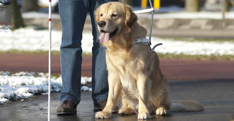 Ledarhund i sele väntar på kommando