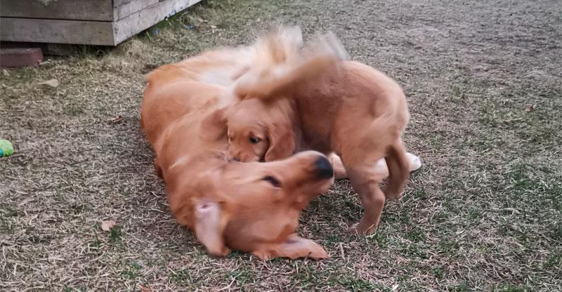 Valp och äldre hund leker tillsammans