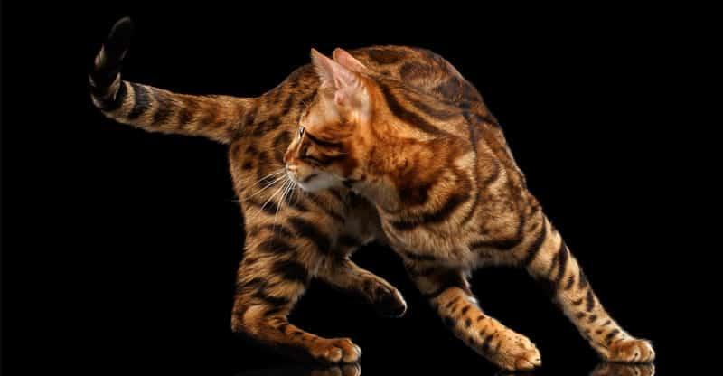 Bengal katt leker