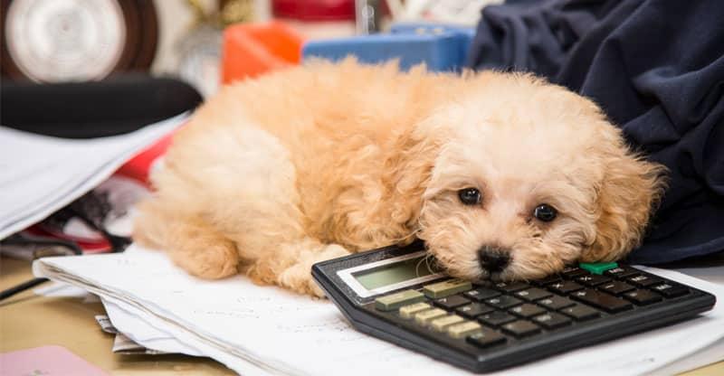 Liten hund ligger på skrivbord
