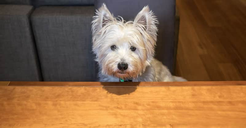 Liten hund tigger vid bordet