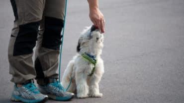 Liten hund tränar fotgående