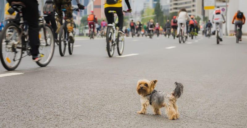 Yorkshire terrier skvallrar på cyklister