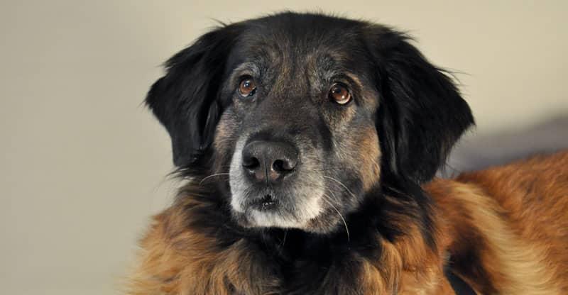 Hunden Astra söker ögonkontakt