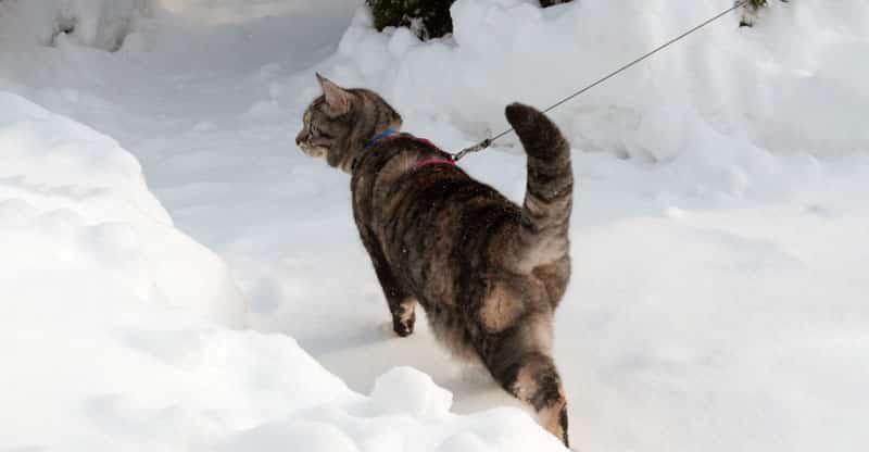 Kopplad katt går i snön
