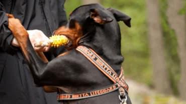 Pinscher med hundsele