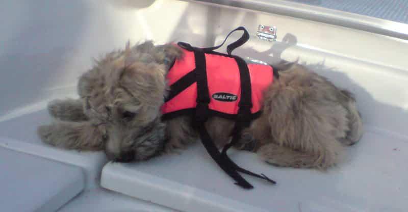 Rufus- soft coated Irish wheaten terrier med flytväst