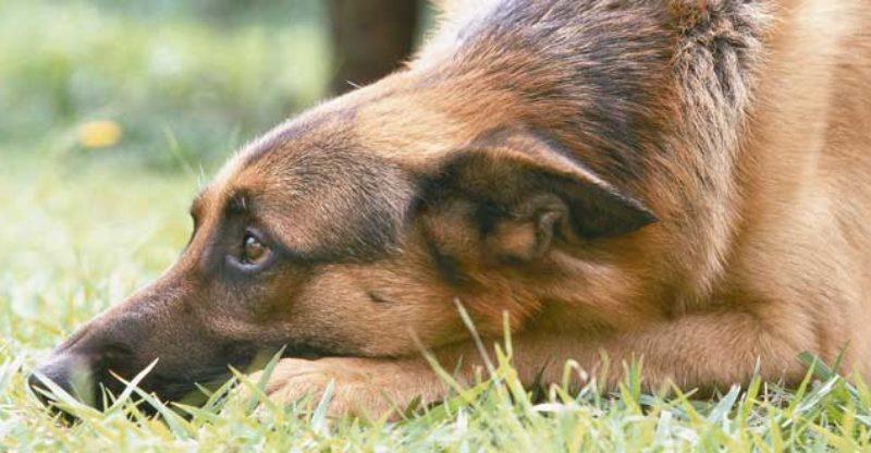 Schäfer ligger i gräset