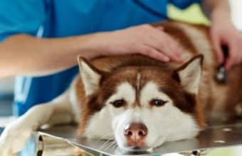 Veterinären lyssnar på en hunds hjärta