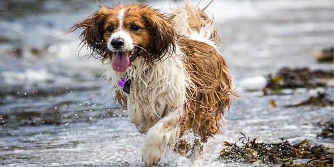 Spaniel springer i vatten