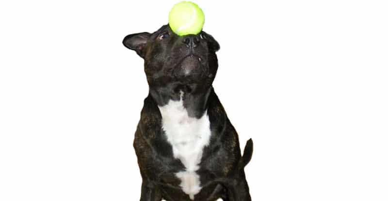 Staffordshire bullterrier balanserar en boll på nosen
