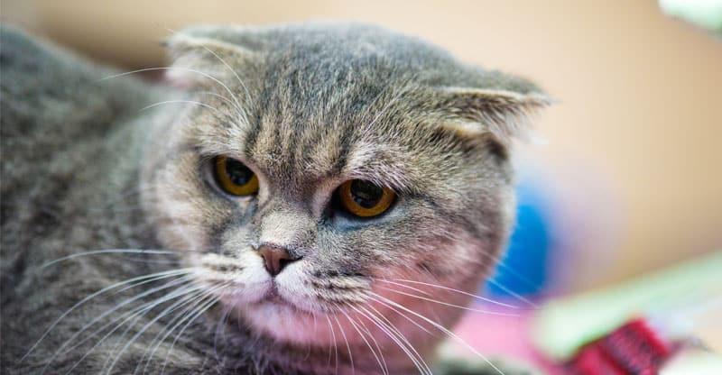 Irriterad och stressad katt