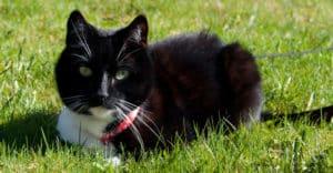 Svart katt utomhus i sele