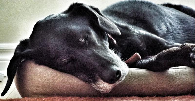 En äldre hund som sover