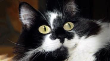 Svart-vit katt tittar med stora ögon
