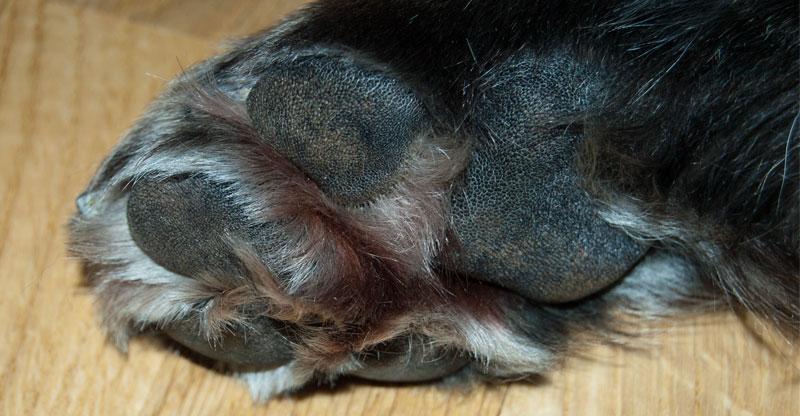 En hunds trampdynor med hårväxt