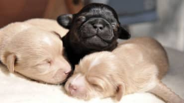 Nyfödda valpar med stängda ögon